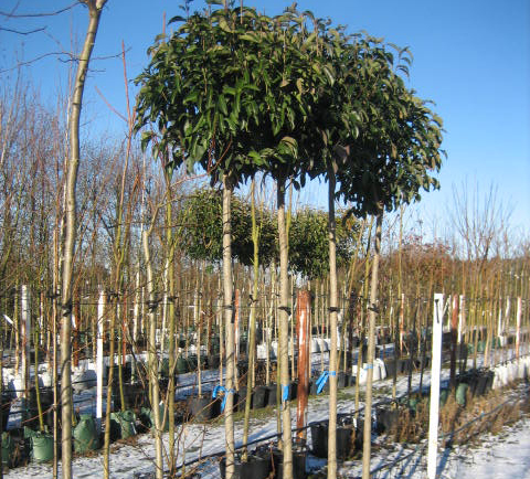 Japanese Privet - Ligustrum lucidum