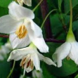 Styrax japonica 'Fargesia'
