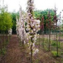 Prunus 'Ama-no-Gawa'